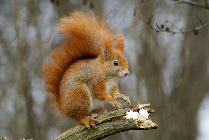 scoiattolo europeo