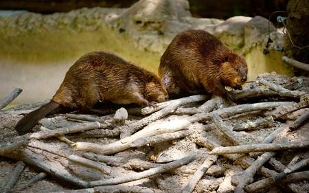 patagonia-strage-castori