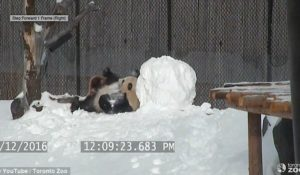Panda vs pupazzo di neve: il video è virale
