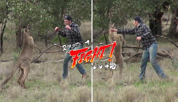 uomo prende a pugni un canguro