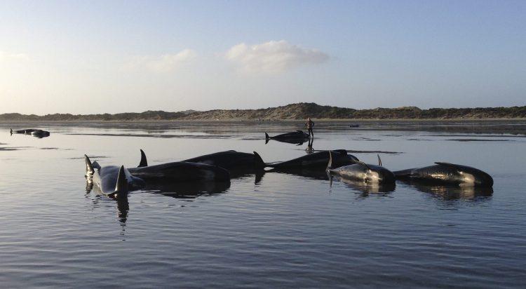 400 balene spiaggiate in Nuova Zelanda