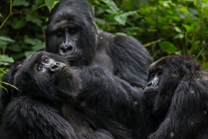 amori animali gorilla