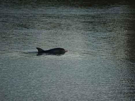 delfino di pisa