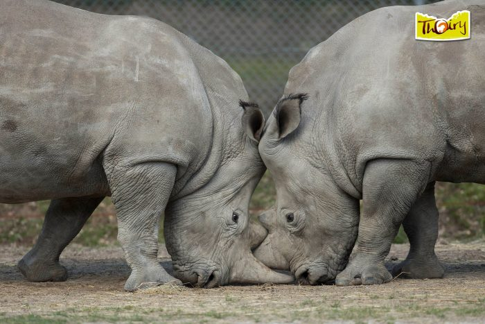 rinoceronte bianco ucciso