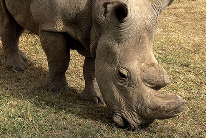ultimo rinoceronte bianco
