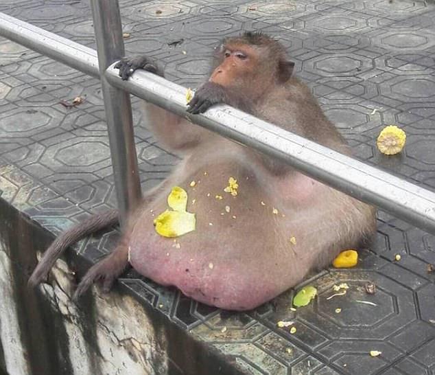 scimmia grassa thailandia