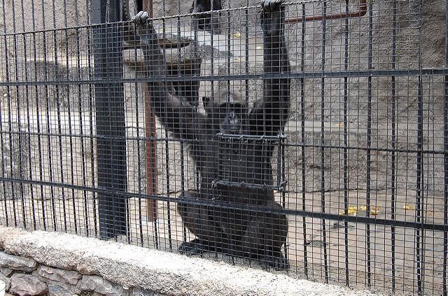cecilia scimpanzé