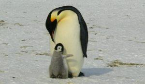 Il 25 aprile è la Giornata mondiale dei Pinguini: adotta un cucciolo per salvare la specie!