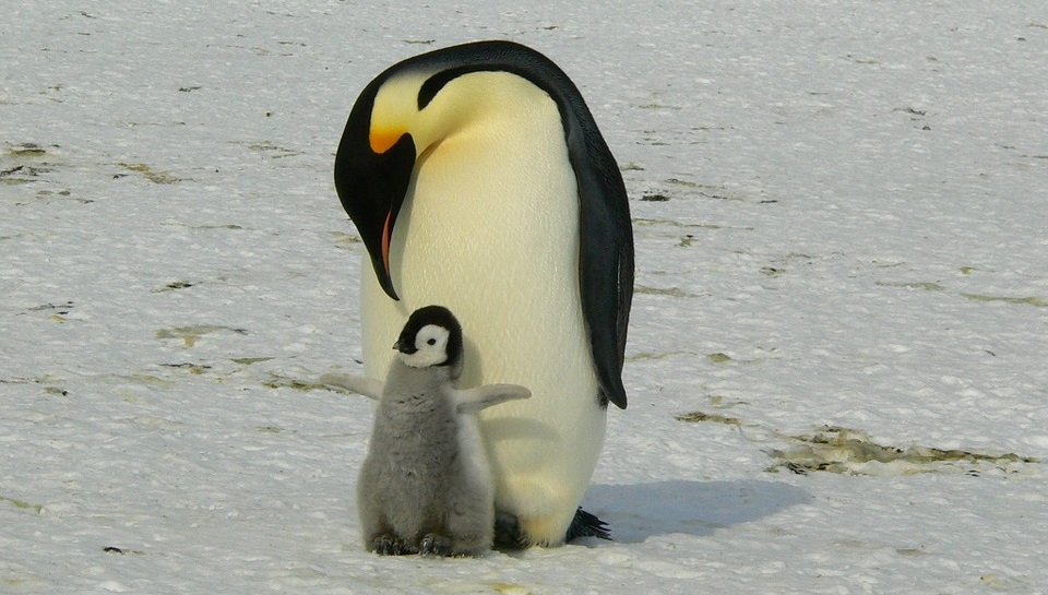 Connu Il 25 aprile è la Giornata mondiale dei Pinguini: adotta un  ZP09