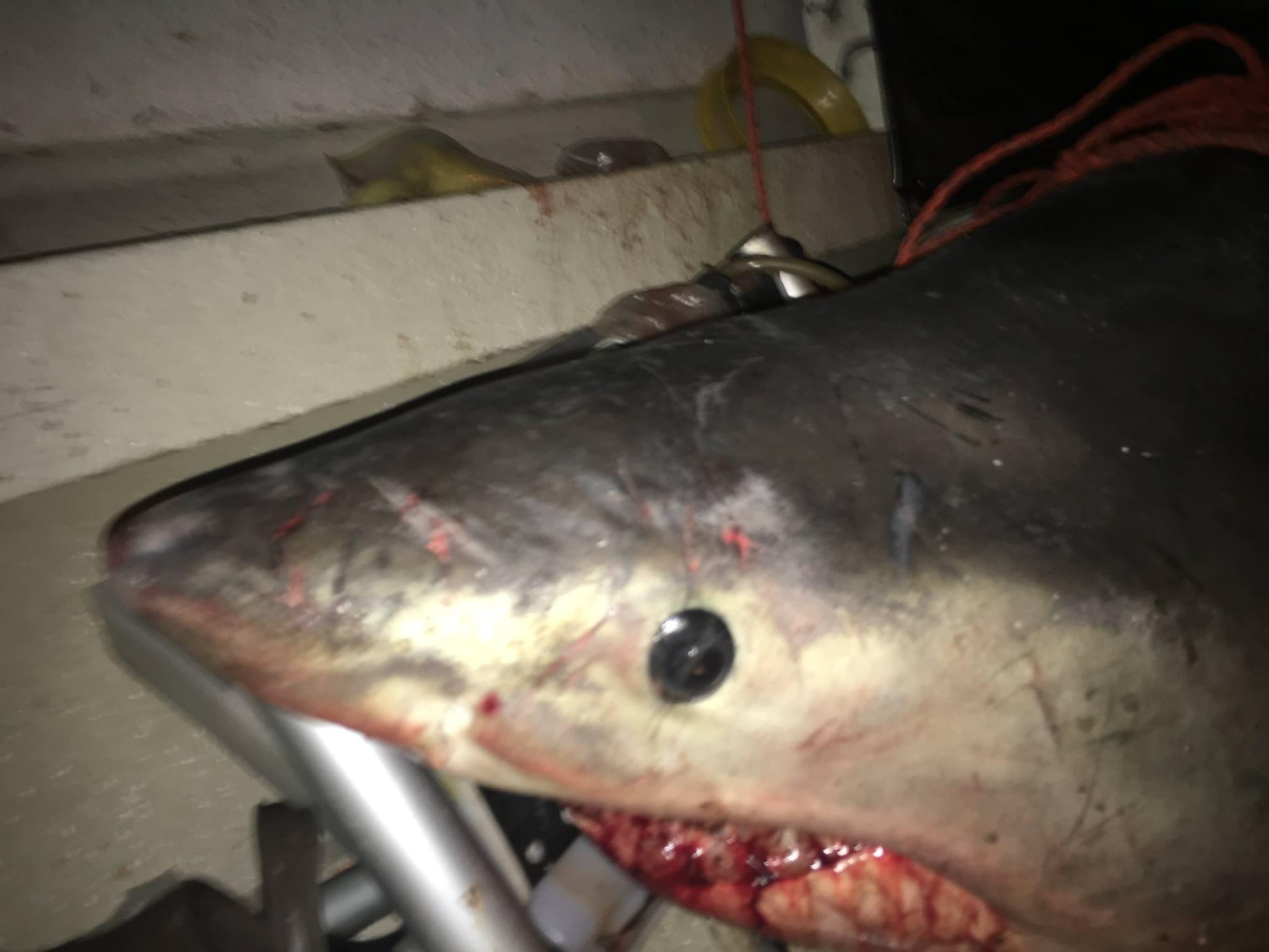 squalo bianco (2)