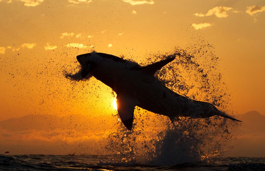 squalo bianco breaching (1)