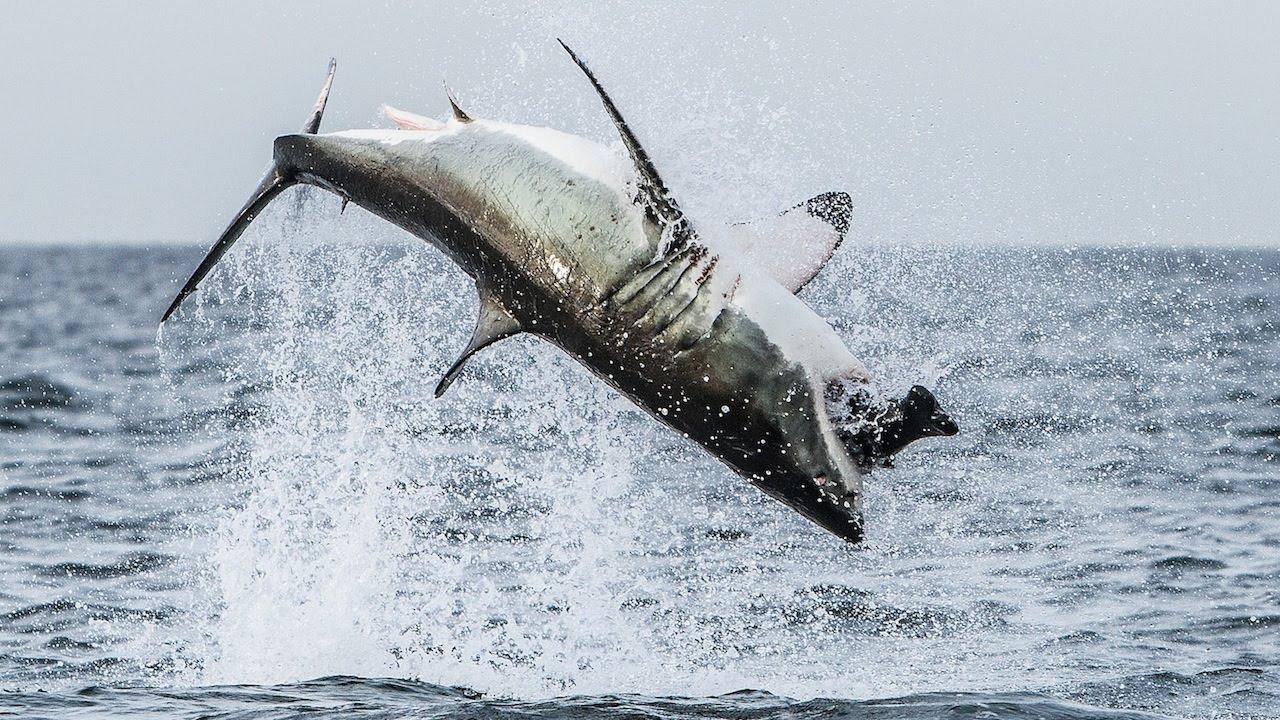 squalo bianco breaching (2)
