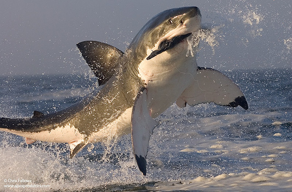 squalo bianco breaching (3)