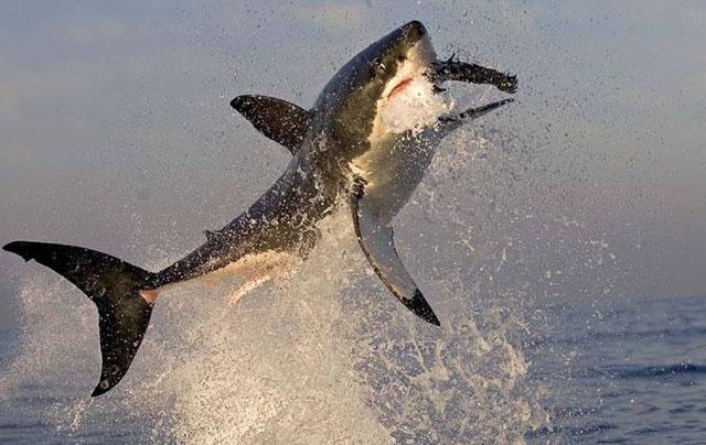 squalo bianco breaching (4)