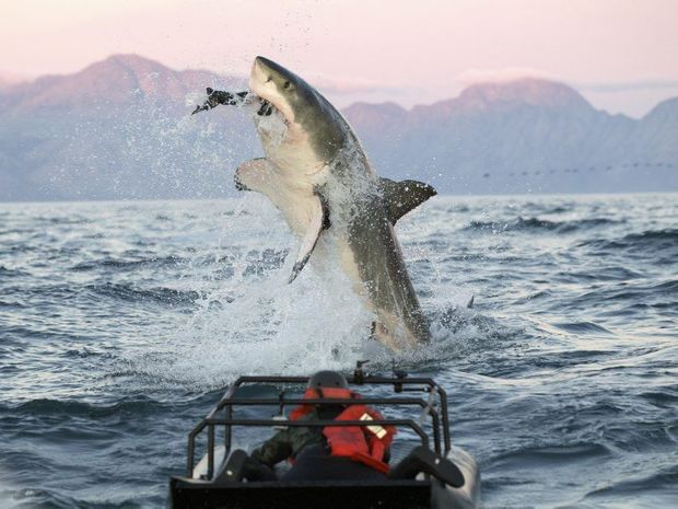 squalo bianco breaching