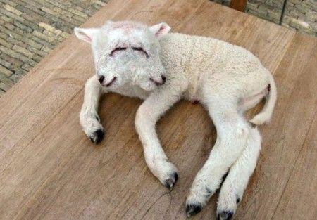 agnello-due-teste