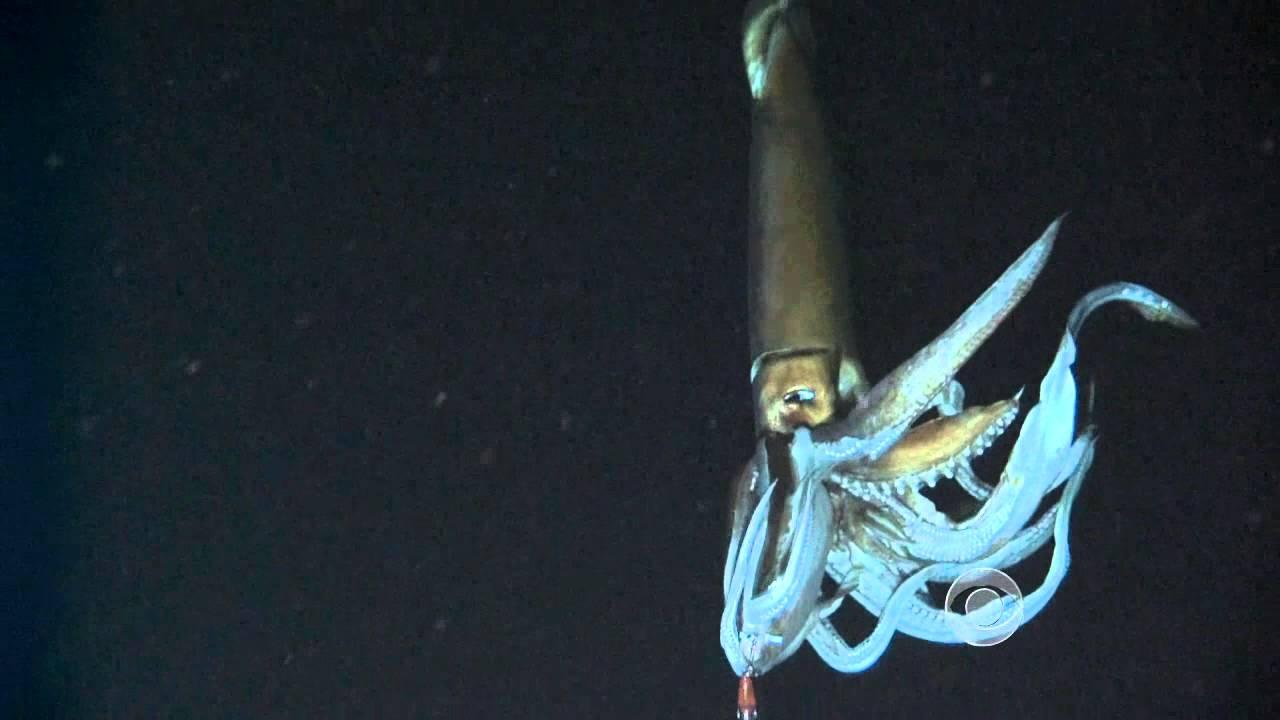 calamaro gigante (2)