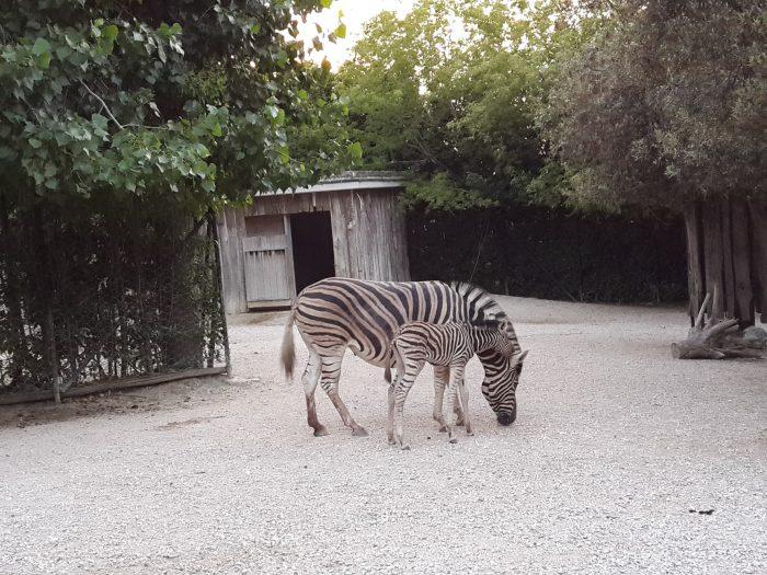 cucciolo di zebra (1)