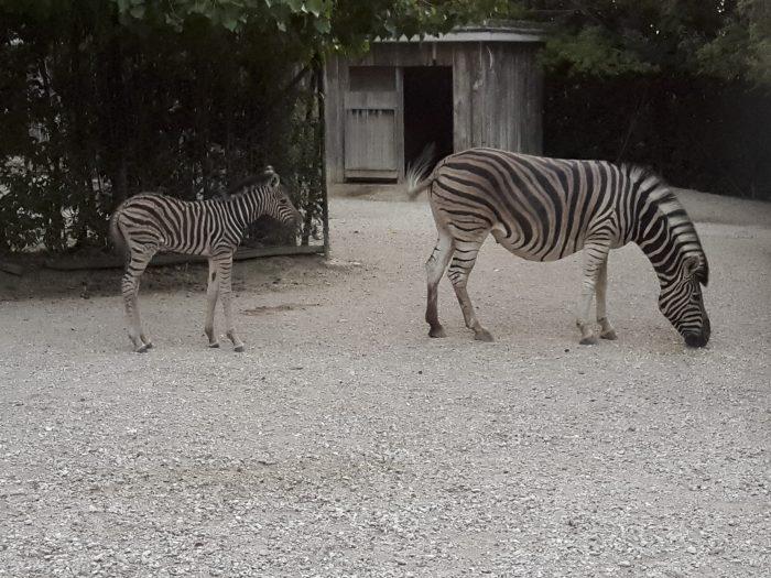 cucciolo di zebra (2)