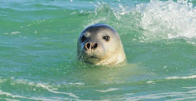foca monaca (3)
