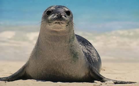 foca monaca (5)