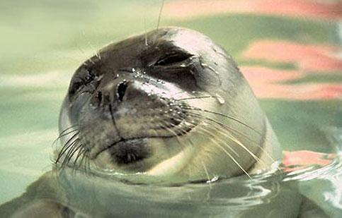 foca monaca nel salento
