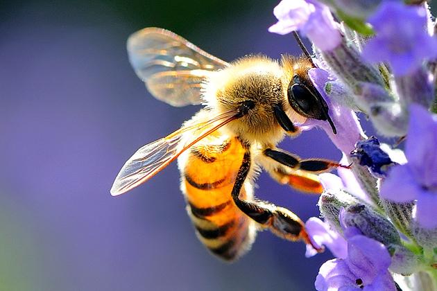 punture di api