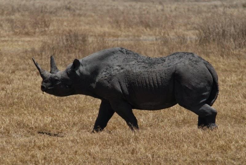 rinoceronte nero occidentale