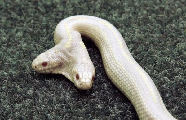 serpente con due teste (2)