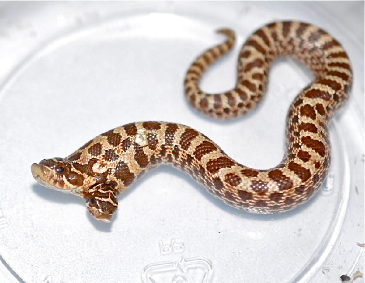 serpente con due teste
