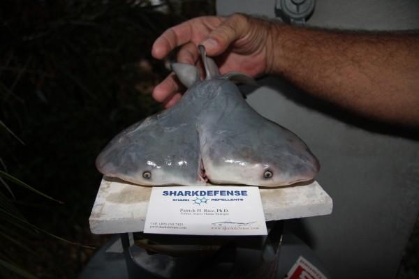 squalo con due teste