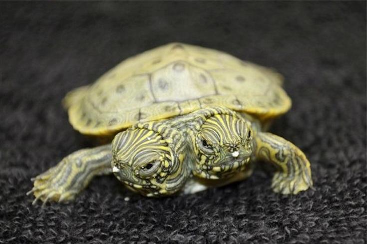 tartaruga con due teste (2)