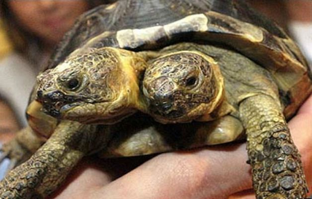 tartaruga con due teste