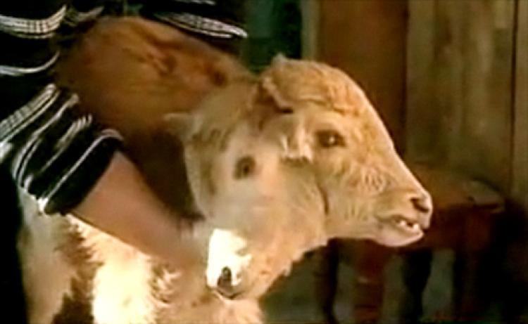 vitello con due teste