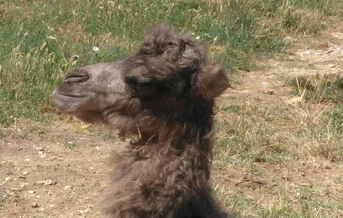 cucciolo di cammello