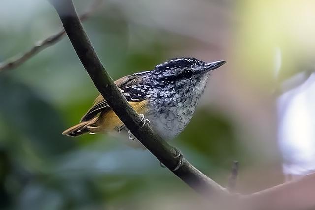amazzonia uccello