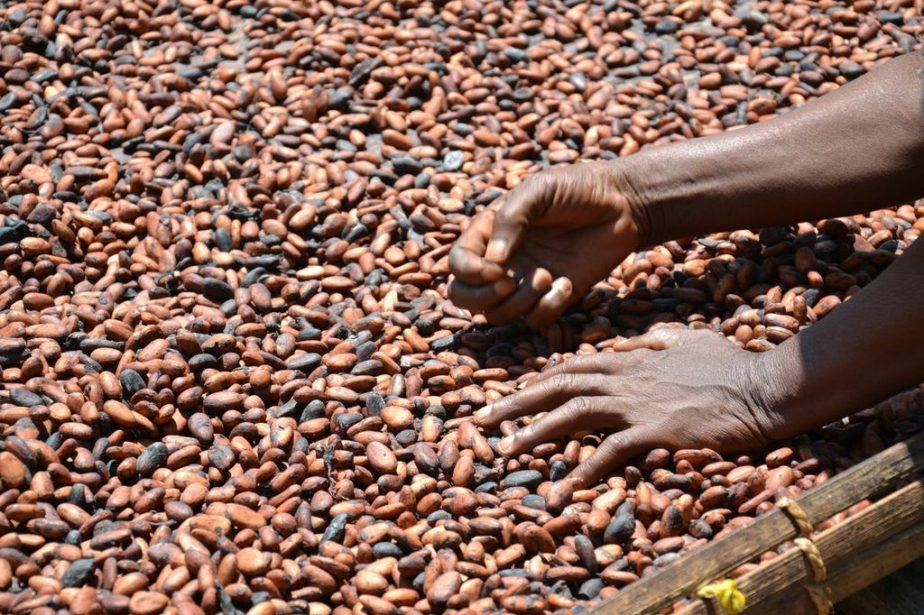 Aumenta la richiesta di cacao: a rischio le foreste dell'Africa occidentale
