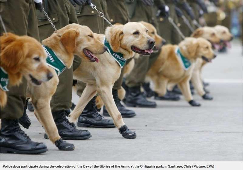 In Cile I Cani Poliziotto Indossano Scarpe Speciali