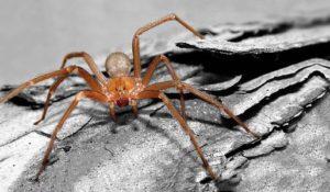 Il ragno violino e gli altri insetti mortali
