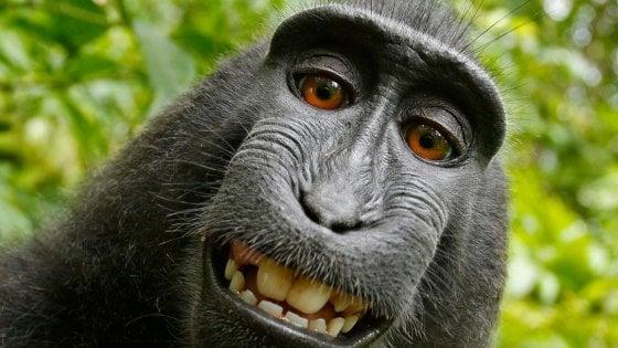 Il macaco fotografo che ha mandato in tilt le regole sul copyright