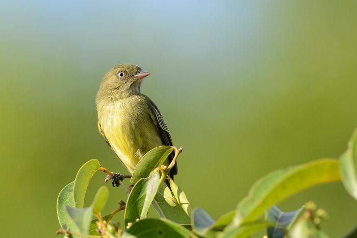 uccello amazzonia