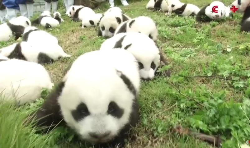 cuccioli di panda (1)