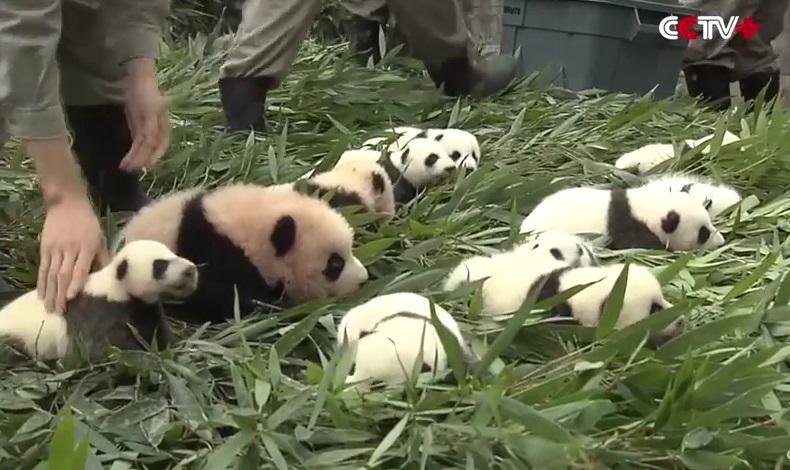 cuccioli di panda (10)