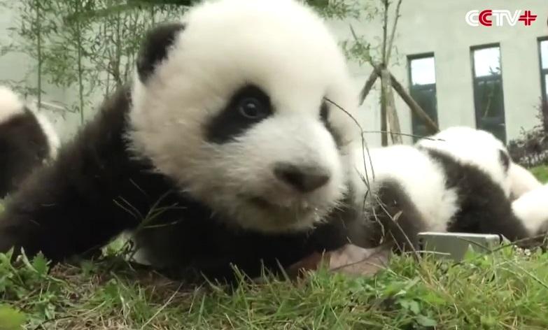 cuccioli di panda (2)