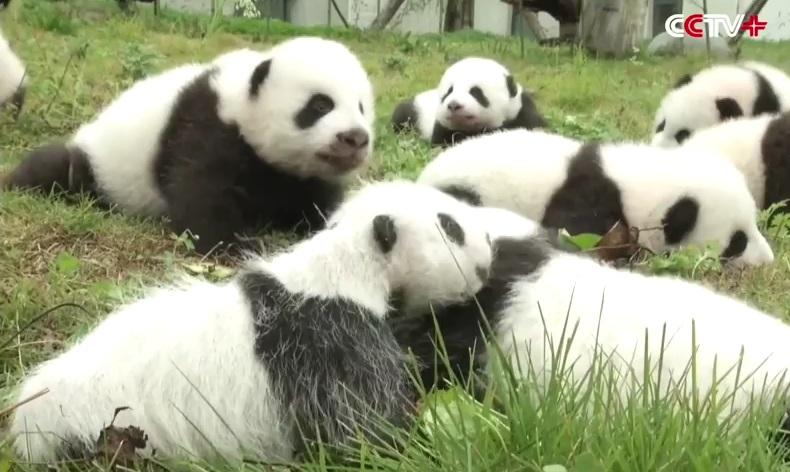 cuccioli di panda (3)