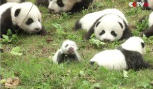 I 36 cuccioli di panda nati in Cina alla scoperta del mondo – FOTO/VIDEO
