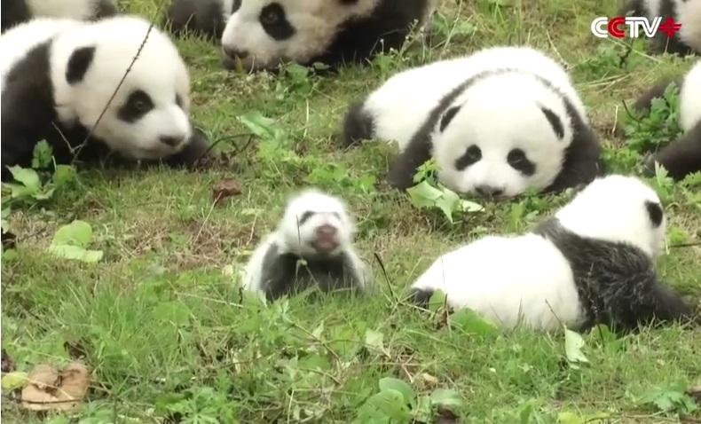 cuccioli di panda (4)