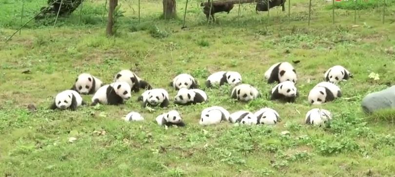 cuccioli di panda (5)