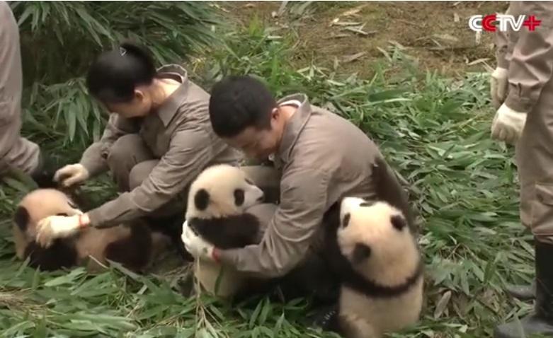cuccioli di panda (6)