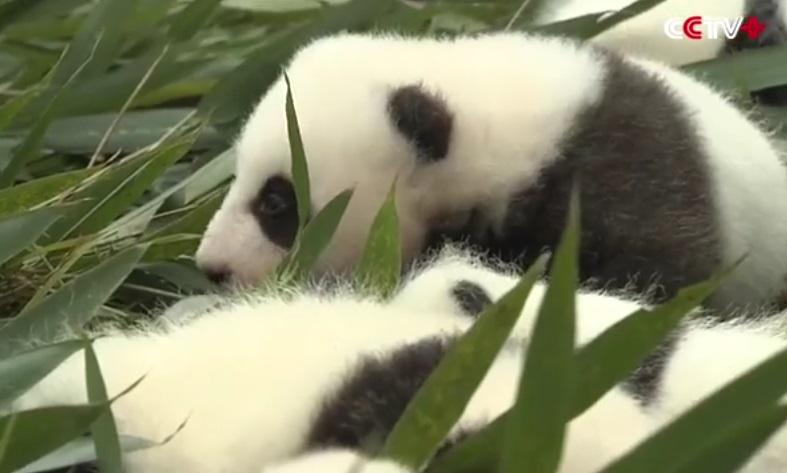 cuccioli di panda (7)